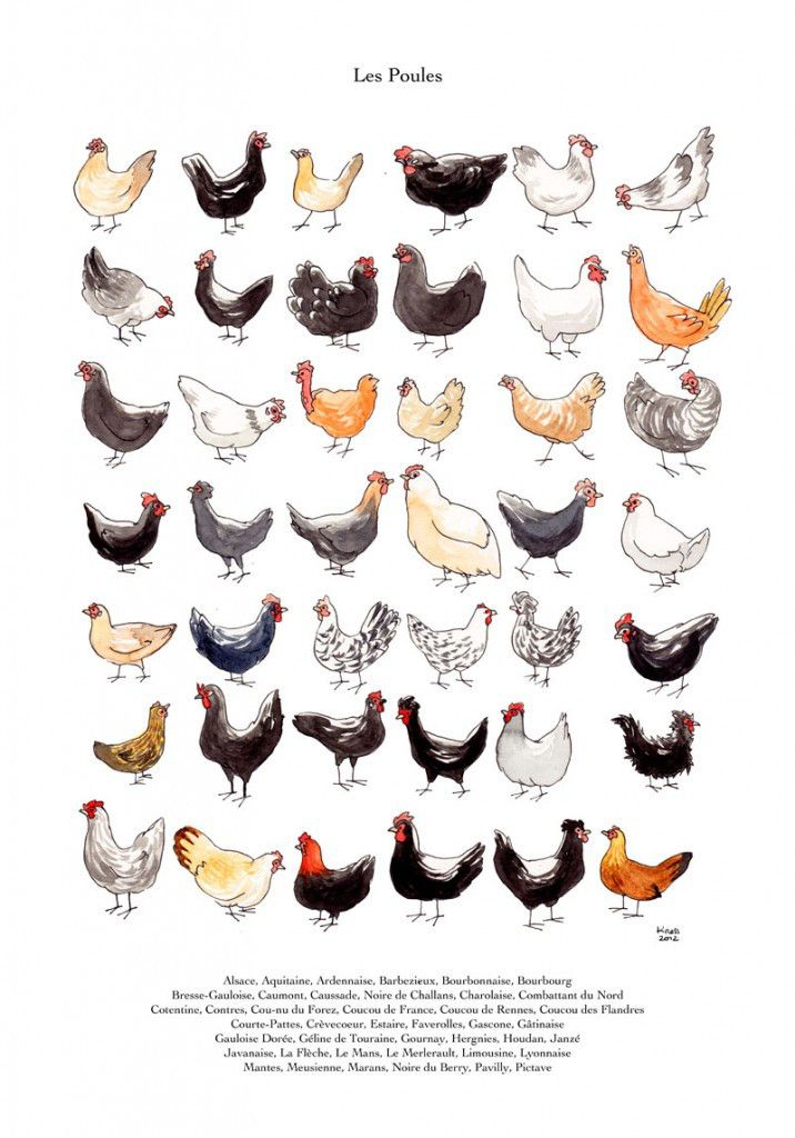 Le Meilleur Poules תרנגולים Chicken Breeds Chicken Illustration Ce Mois Ci