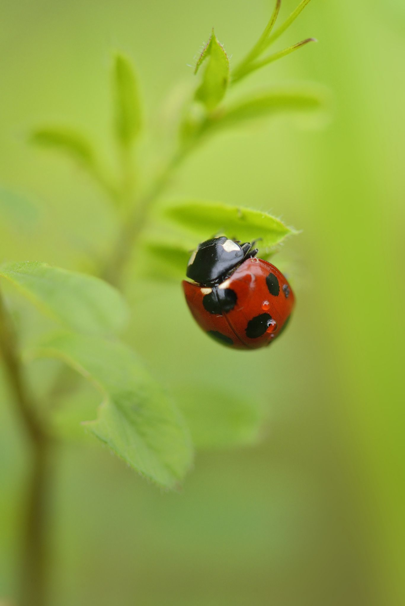 Le Meilleur Seven Spot Ladybird ナナホシテントウ By Firepaw210 Coccinelle Ce Mois Ci