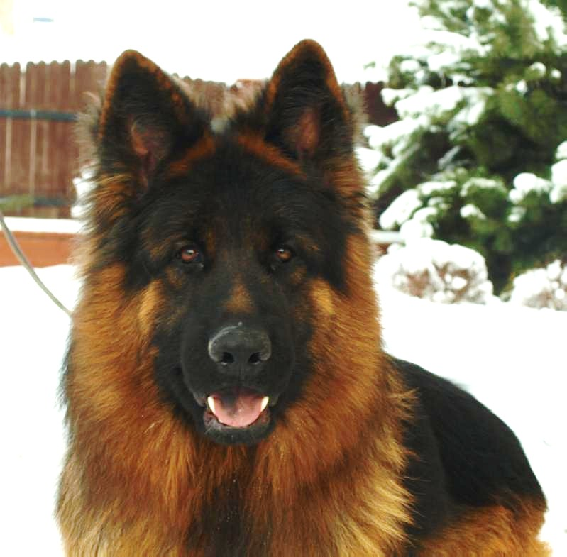 World Class Imported Male German Shepherds