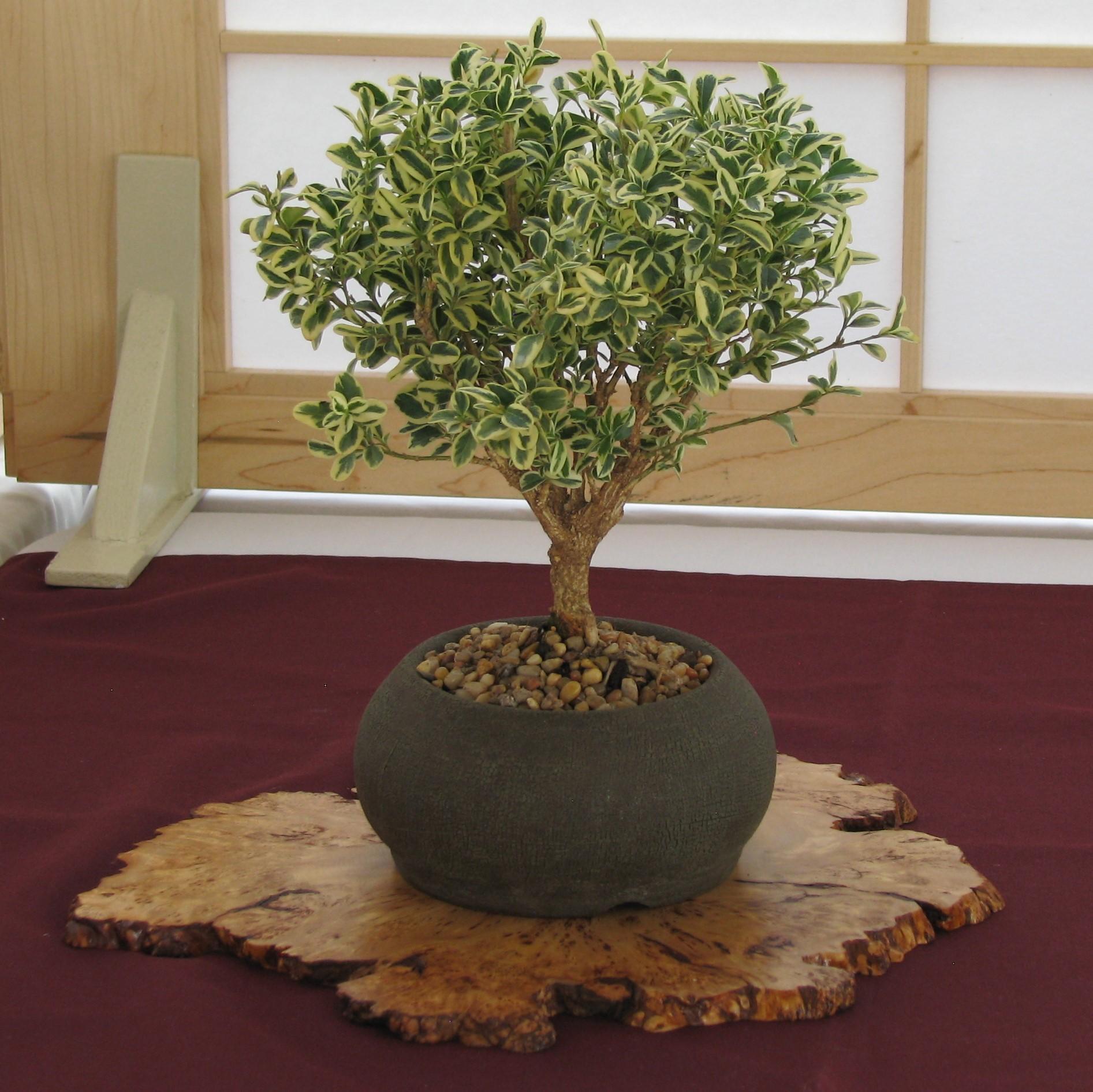 Boxwoods Colorado Rocky Mountain Bonsai Suiseki Wiring Yew