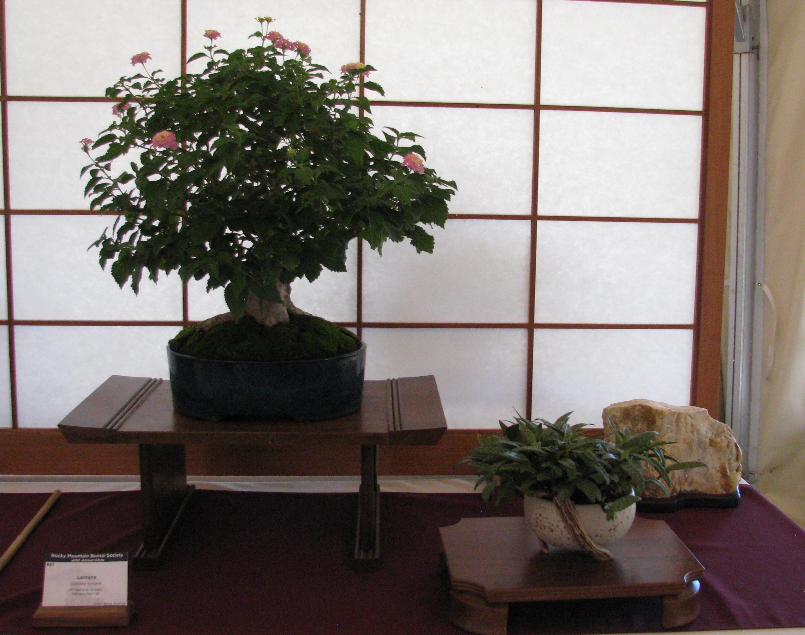 Lantana Bonsai In Colorado Colorado Rocky Mountain Bonsai Suiseki