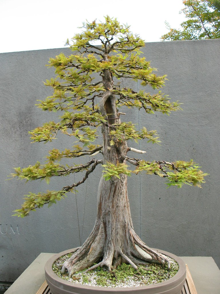 Taxodium Distichum Bald Cypress Bonsai Colorado Rocky Mountain Bonsai Suiseki