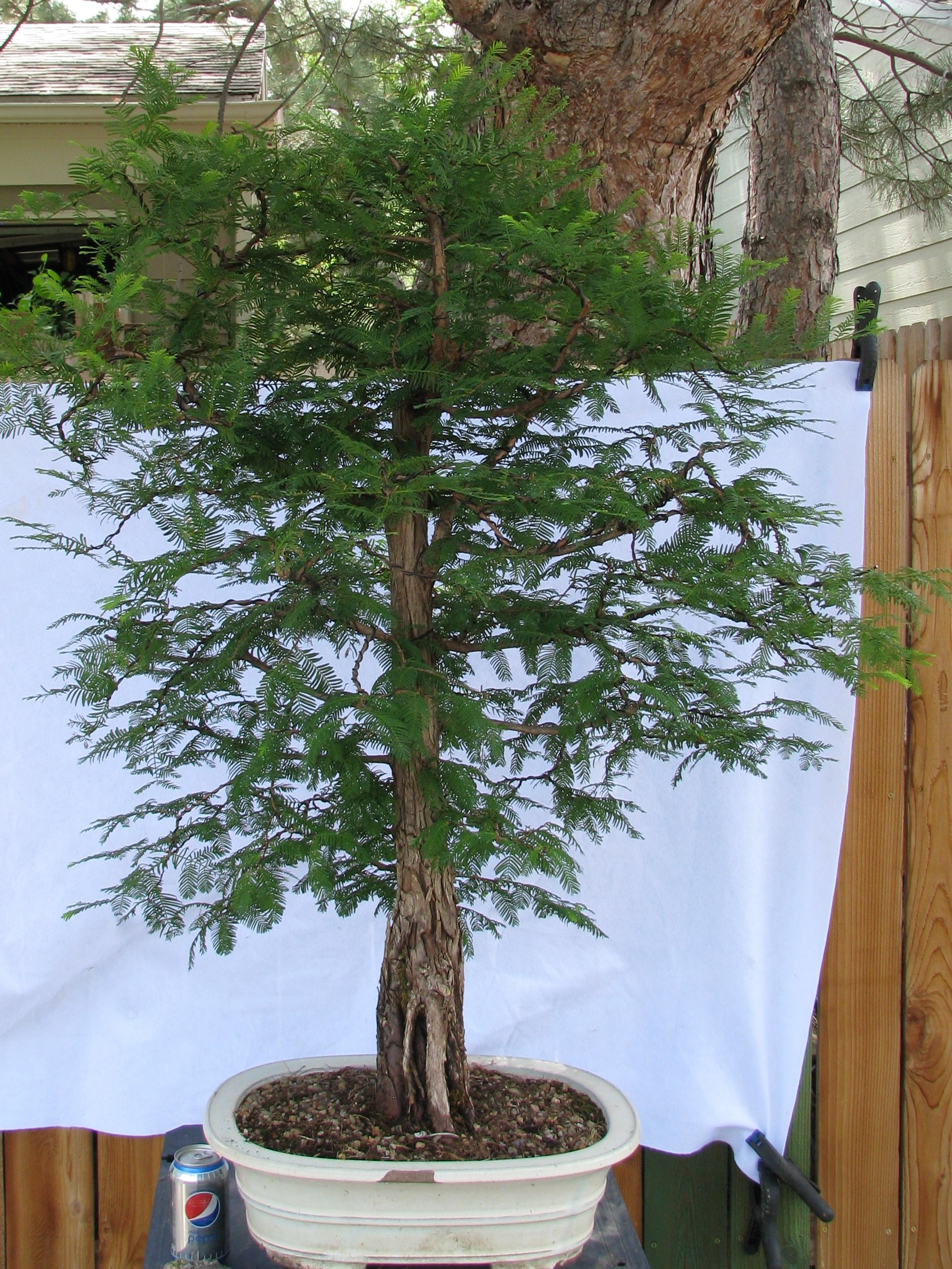 Metasequoia Glyptostroboides Dawn Redwood Colorado Rocky Mountain Bonsai Suiseki