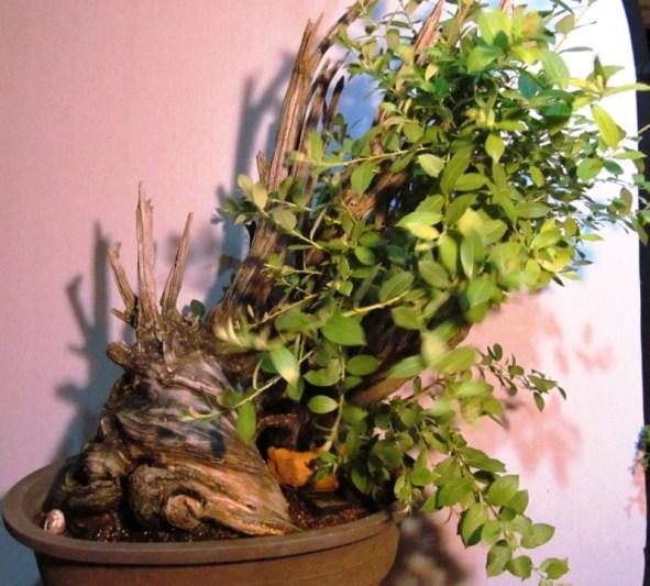 Salix bebbiana - Bebb's Willow Bonsai & Jerry Morris