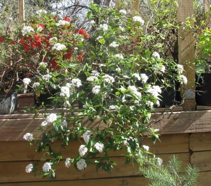 Viburnum Burkwoodii Bonsai