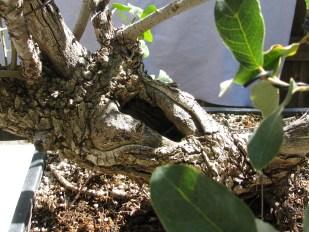 Quercus Grisea – Gray Oak Bonsai #3