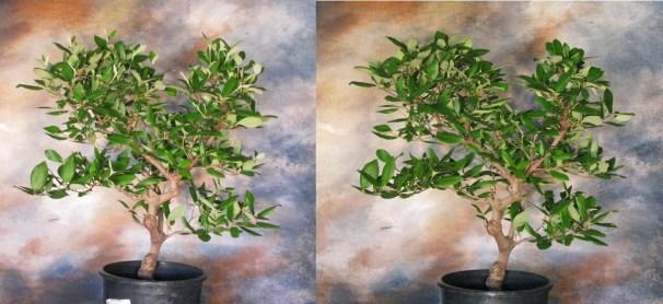 2018 Viburnum Burkwoodii Tree 1 Before/After Reduction