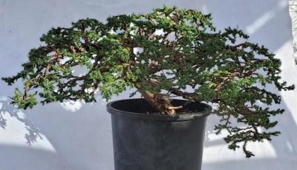 Juniperus - Procumbens Nana Bonsai Front