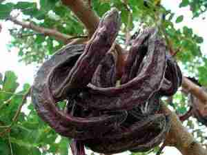 Photo of carob pods