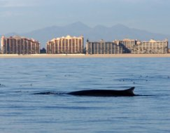 whales-jan2015 (7)
