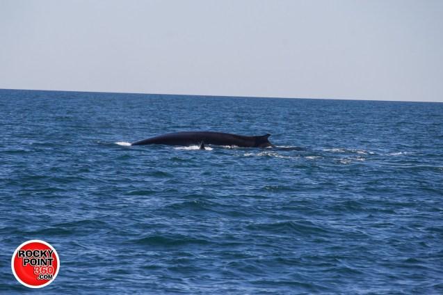 whales-feb21-2017-delmar (12)