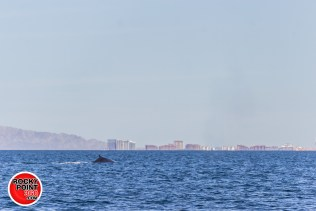 whales-feb21-2017-delmar (6)