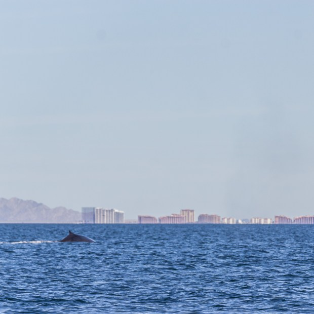 whales-feb21-2017-delmar-6 AMOR! Valentine's Day 2019 in Puerto Peñasco