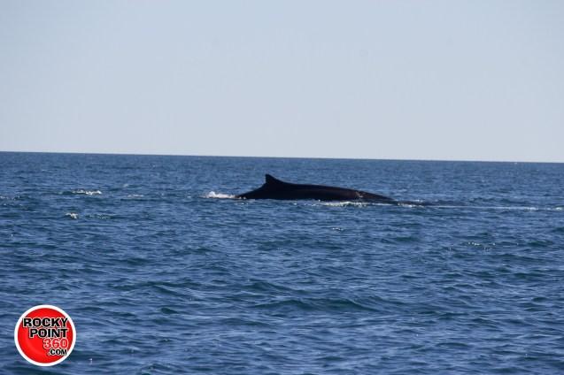 whales-feb21-2017-delmar (9)