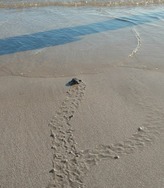 tortugas-14oct2017-sandybeach-9 Puerto Peñasco had historic sea turtle nesting period in 2017