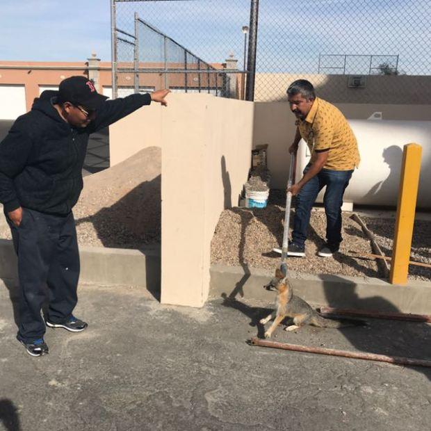 fox-december3 Zorro retirado de zona turística liberado en el desierto