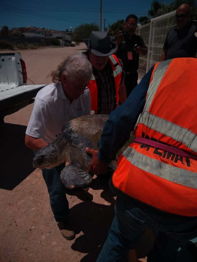 aug-2019-rescate-tortuga-3 Injured turtle rescued near Malecón