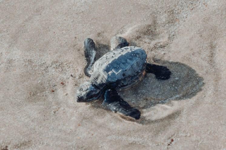tortugas-turtles-nov-2019-1 Fall baby sea turtles release