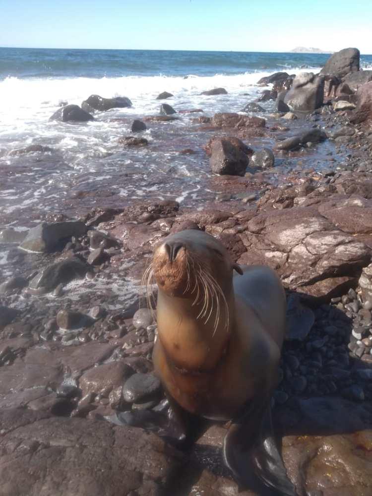 Lobo-marino Entangled sea lion rescued from net near malecón