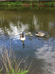 canada geese on the campsite