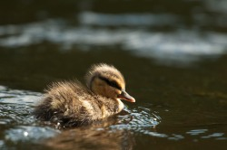 duckling on the fishing lake