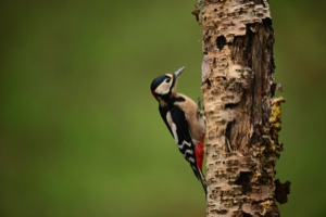 woodpecker alarm clock