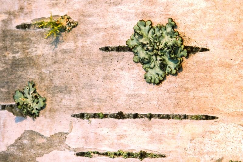 Maine Birch Bark Detail - Roddy Scheer Photography