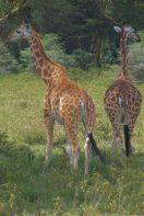 Lake Nakuru National Park (135)