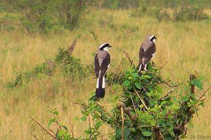 Masai Mara National Reserve (51)