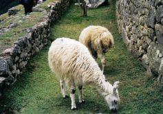 Macchu Picchu 31