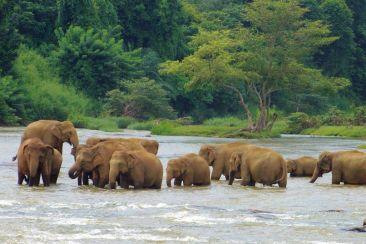 Pinnawala Elephant orphanage (10)
