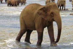 Pinnawala Elephant orphanage (15)