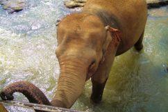 Pinnawala Elephant orphanage (17)