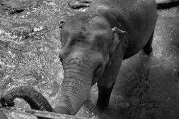 Pinnawala Elephant orphanage (18)