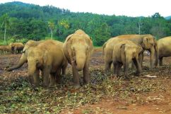 Pinnawala Elephant orphanage (2)