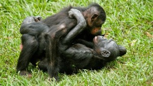 bonobo-female-sex