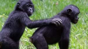 Bonobos bonding