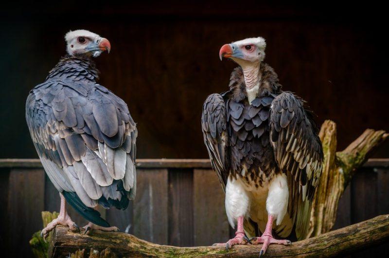 Birds Voltures Feathers Plumage  - RonnyJacobs / Pixabay