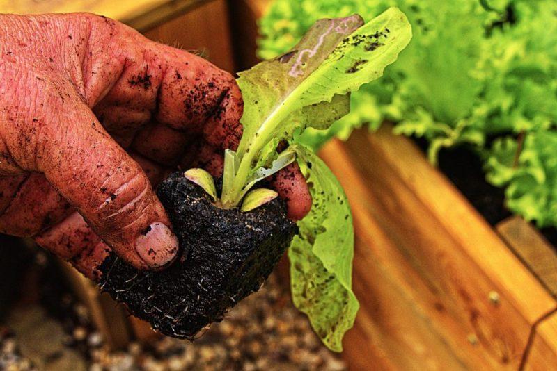 Hands Salad Gardening Plant - anaterate / Pixabay
