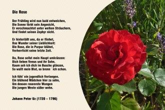 Die Rose – Johann Peter Uz