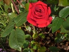 2014_06_21_Rose_rot