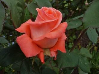 2014_06_22_Rose_3