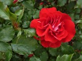 2014_06_22_Rose_rot-weiss