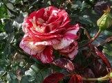 2014_07_20_Rose_4