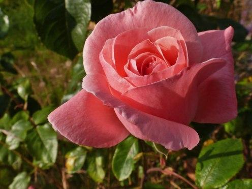 2014_07_20_Rose_6