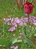2015_05_08_Tulpen_8