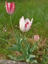 2015_05_23_Tulpen_1