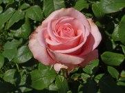 2015_07_01_Rose_1
