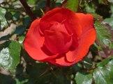 2015_07_01_Rose_14