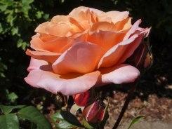 2015_07_01_Rose_22
